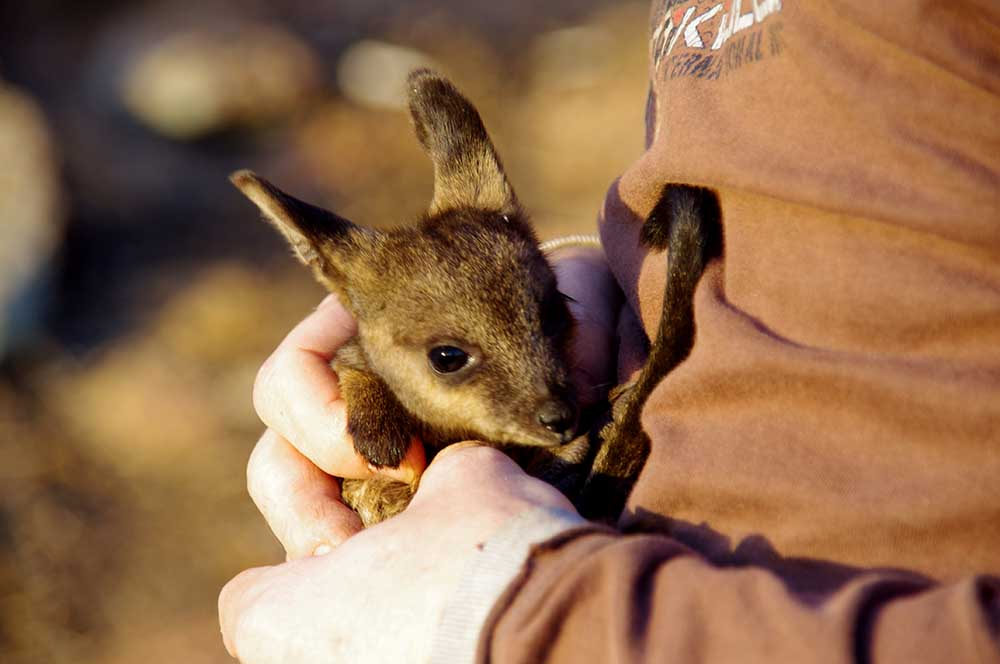 A volunteer holds a black-flanked rock-wallaby, Mt Caroline © Phil Lewis / WWF-Aus