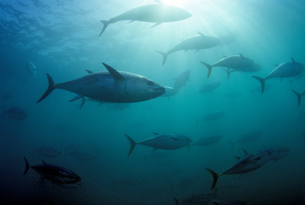Southern bluefin tuna circling in holding pen © naturepl.com / David Fleetham / WWF