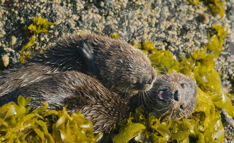 Marine otters playing on kelp © naturepl.com / Kevin Schafer / WWF