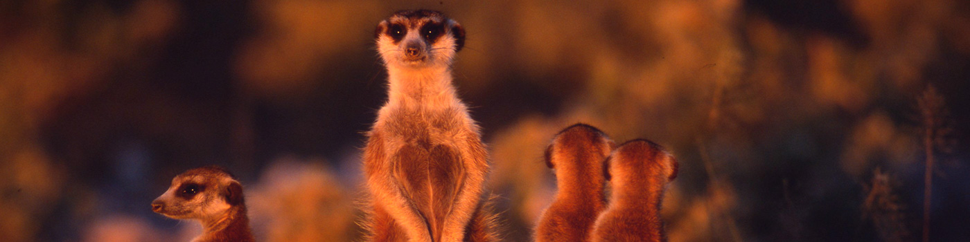 A meerkat looks out from it's group towards the camera © Martin Harvey / WWF