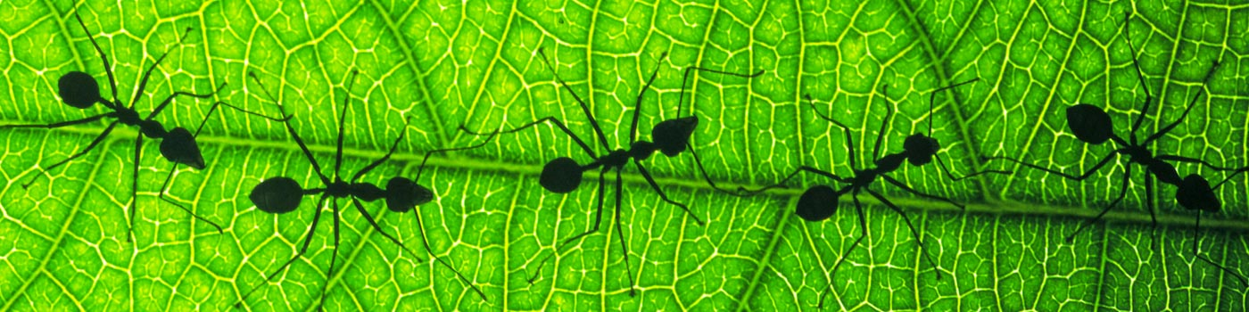 Silhouetted ants walk in a line down a leaf © Chris Martin Bahr / WWF