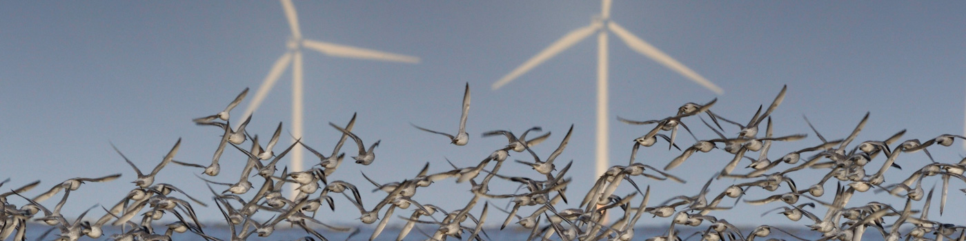 A flock of knot flying in front of a windfarm in the UK © naturepl.com / Graham Eaton / WWF
