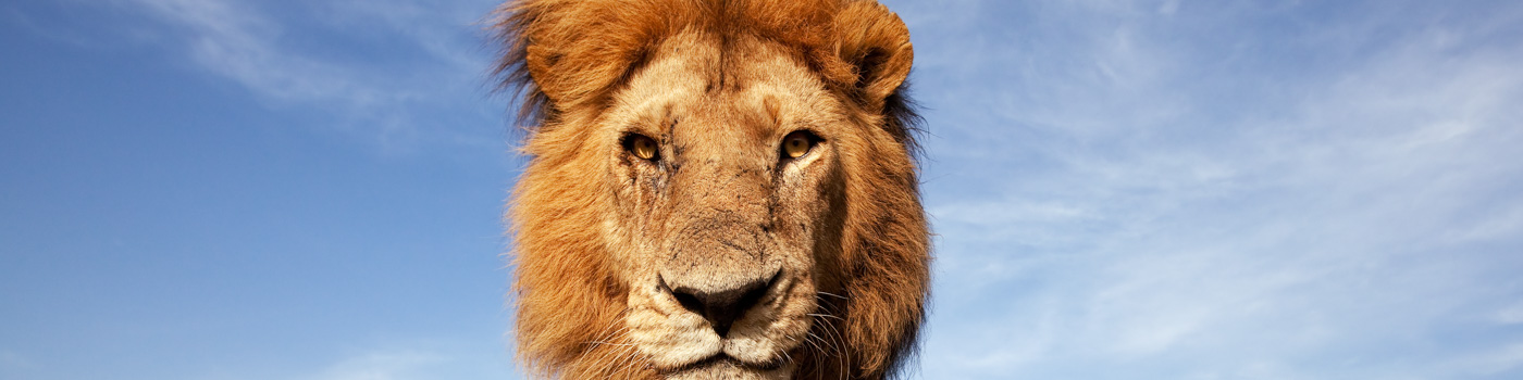 A low angle portrait of lion looking down the camera in the Maasai Mara © naturepl.com / Anup Shah / WWF