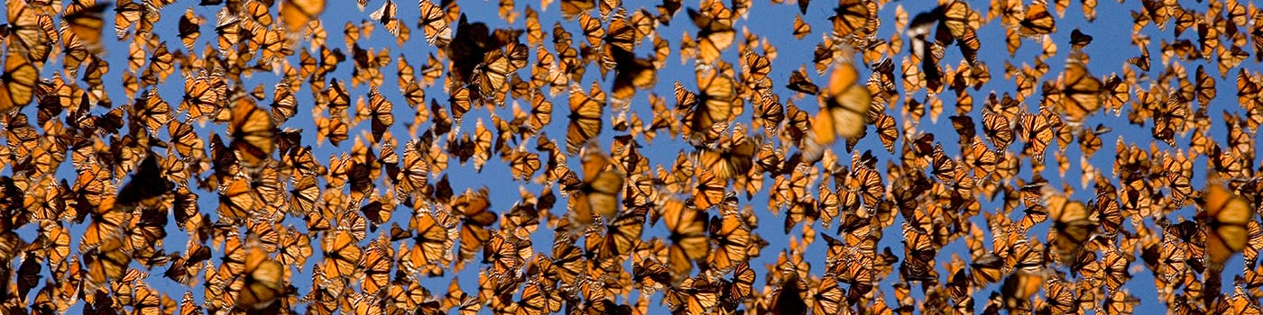 Cloud of monarch butterflies (Danaus plexippus) flying, overwintering colony, Mexico © naturepl.com / Ingo Arndt / WWF