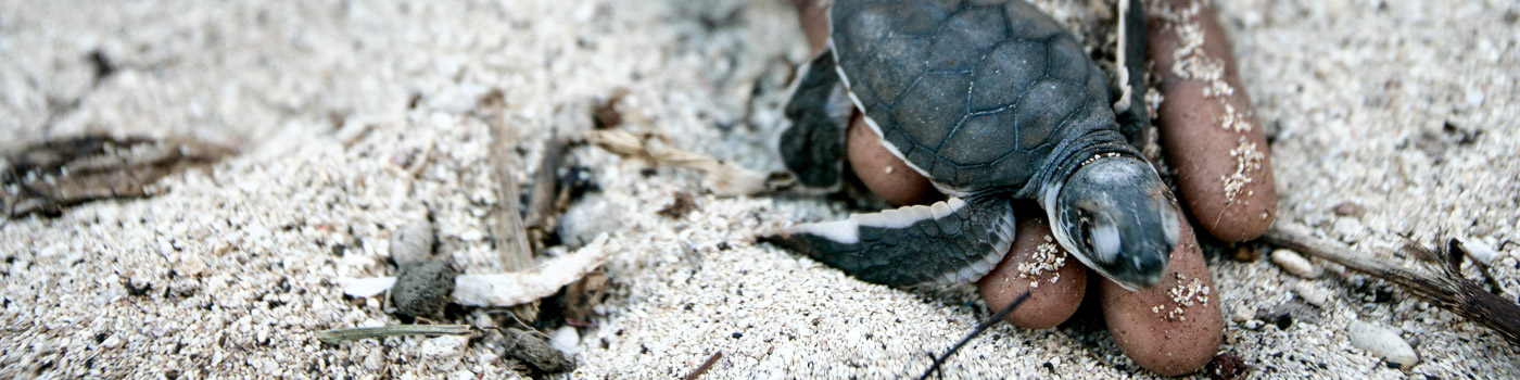 A turtle hatchling is helped onto the sand on Juani Island © Brent Stirton / Getty Images / WWF-UK