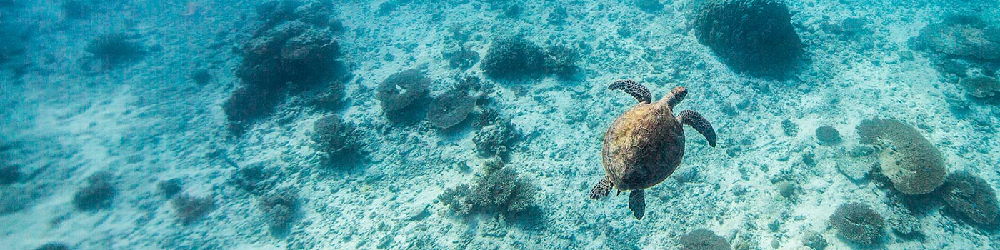 A green turtle swims off Heron Island Research Station, Queensland, Australia © WWF / James Morgan