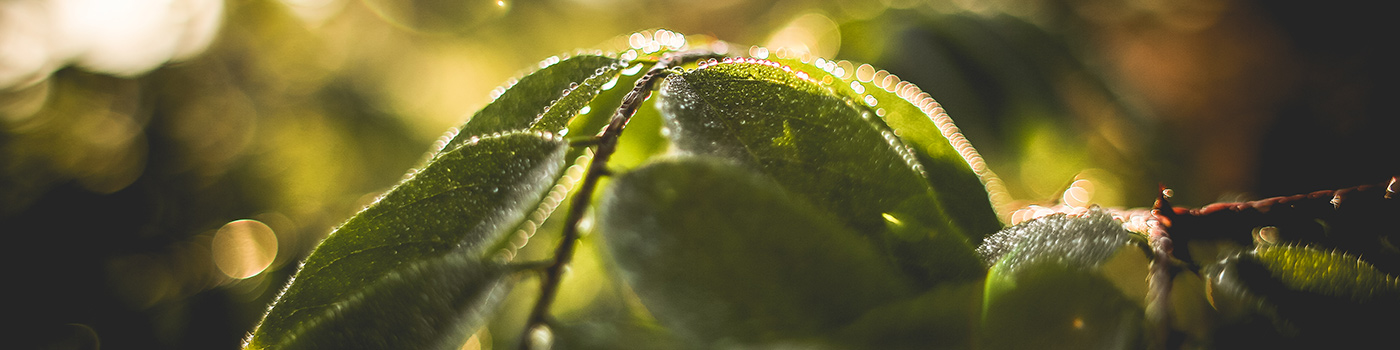 Green leaves and morning dew. Photo by Viktor Hanacek