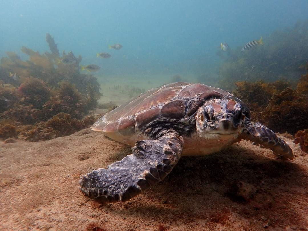 Ella the green sea turtle underwater © Australian Seabird Rescue Central Coast / WWF-Australia