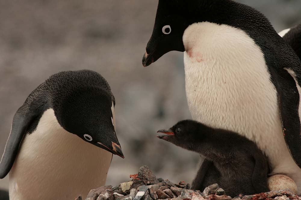 Adelie penguins - Palmer Island Station - © Greg & Kate Bourne WWF-Aus