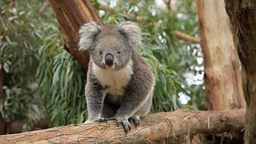 Visiting Annie the koala at Phillip Island Nature Parks