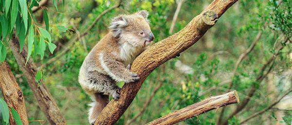 A wild koala (Phascolarctos cinereus) climbing in its natural habitat of gum trees © Shutterstock / GunnerL /WWF