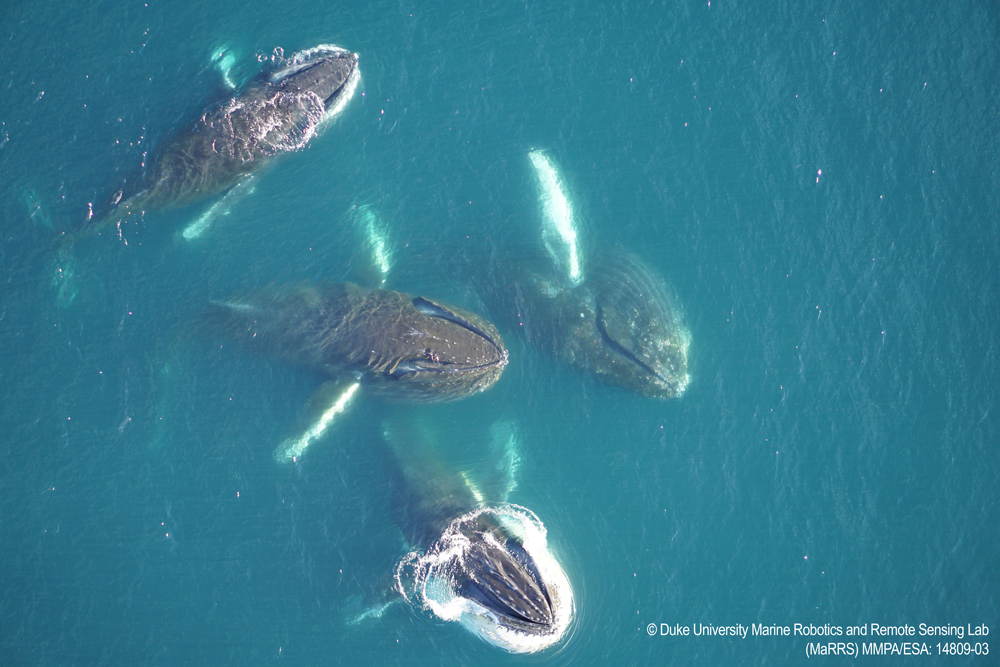 Humpback whales in Antarctica © Duke University Marine Robotics and Remote Sensing Lab (MaRRS) MMPA/ESA: 14809-03