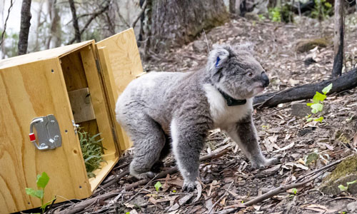 Annie the koala release in the wild © Zoos Victoria