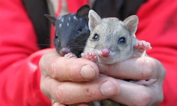 Two eastern quoll joeys at Trowunna Wildlife Park, Tasmania © WWF-Aus / Madeleine Smitham