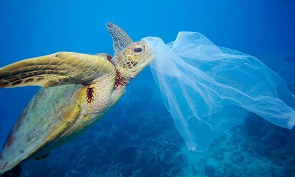 Green sea turtle (Chelonia mydas) with a plastic bag, Moore Reef, Great Barrier Reef, Australia © Troy Mayne / WWF