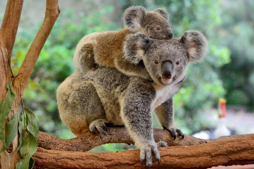 Mother koala with joey on her back © Shutterstock / Alizada Studios / WWF