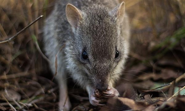 Northern bettong close-up, Queensland © Stephanie Todd / JCU / WWF-Aus