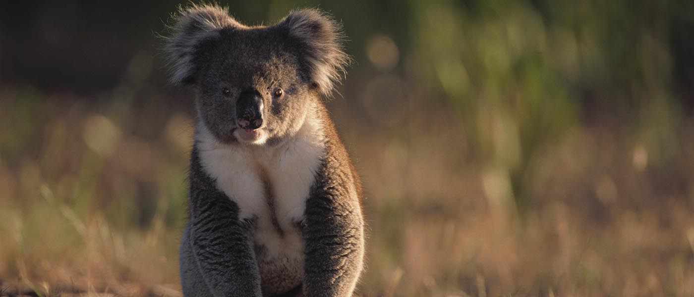 Wild koala sitting on ground © Theo Allofs / Getty Images