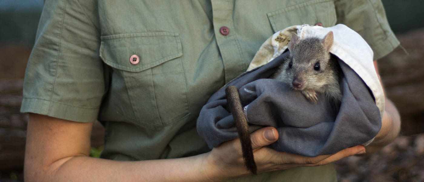 A northern bettong is held in a blanket by WWF's Jess Koleck © Stephanie Todd / JCU / WWF-Aus