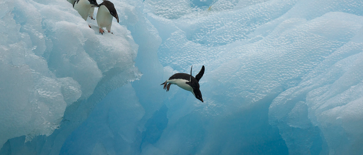 Adelie penguins (Pygoscelis adeliae) diving off iceberg, Antarctica, January © naturepl.com / Tim Laman / WWF