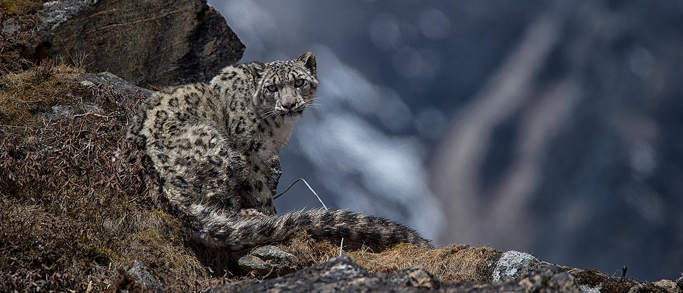 Yalung, the fourth snow leopard collared in Kangchenjunga Conservation Area, May 2017 © Sanjog Rai / WWF-Nepal