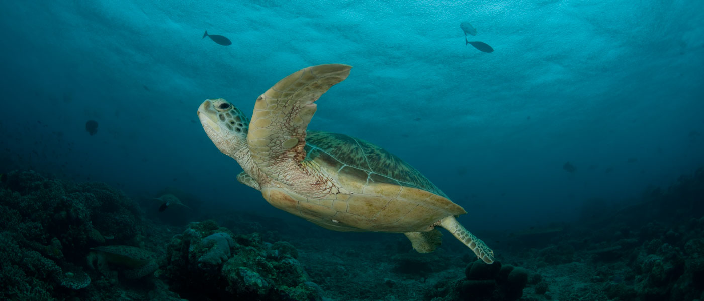 A green sea turtle swims amongst fish at Sipadan Island, Malaysia ©  Jürgen Freund / WWF