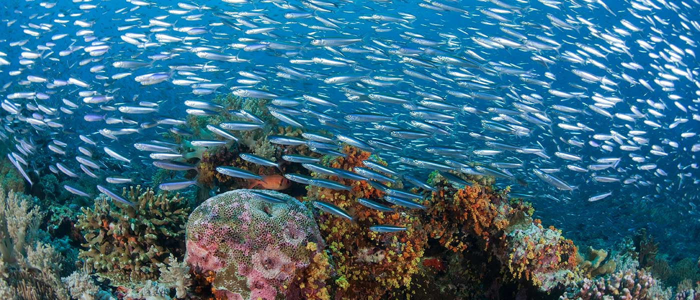 Massive school of silversides (Atherinomorus lacunosa) around the reef. Banda Neira, Indonesia © Jürgen Freund / WWF