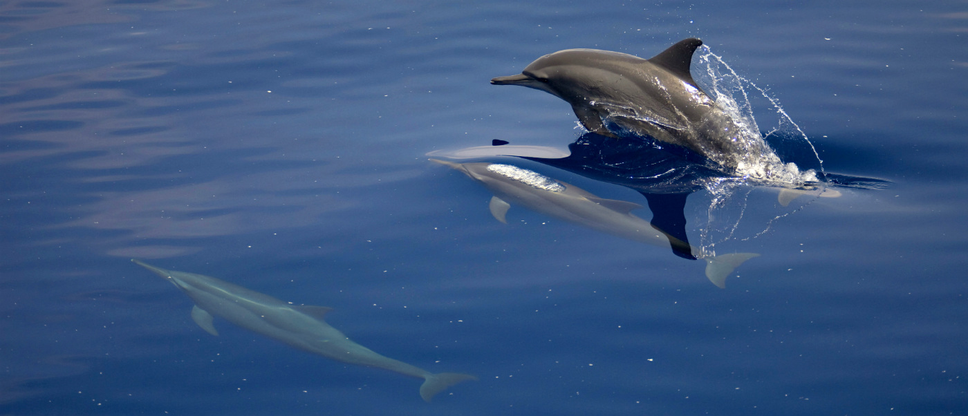 Spinner dolphins surfacing in extensive light oil sheen with high density of small wax particles. © WWF-Aus / Kara Burns