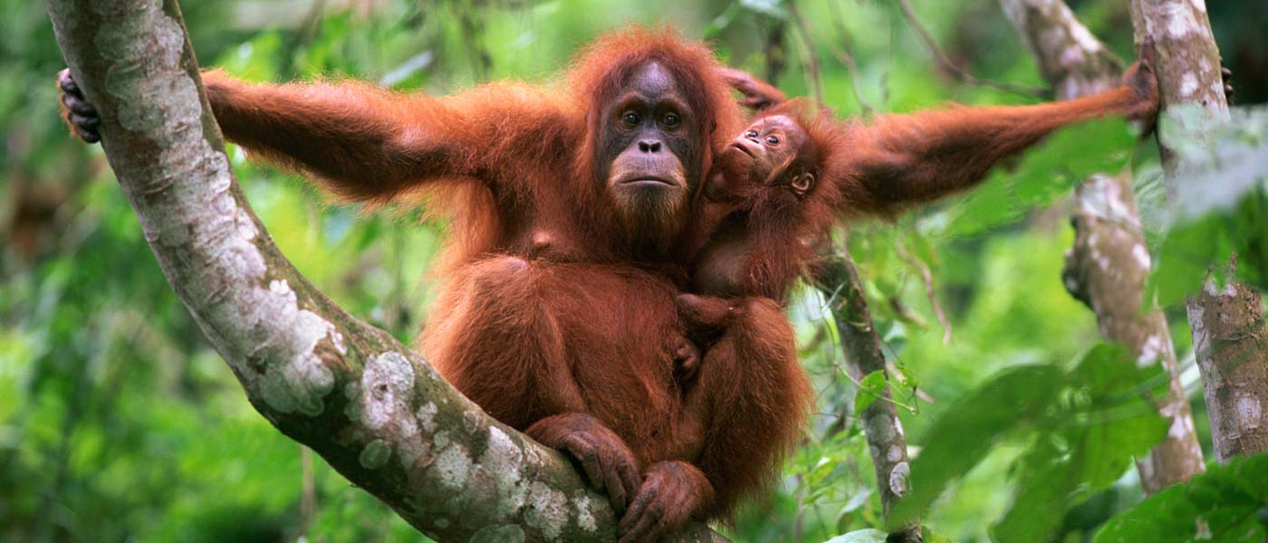 An orangutan with its baby sit on a branch facing the camera © naturepl.com / Anup Shah / WWF