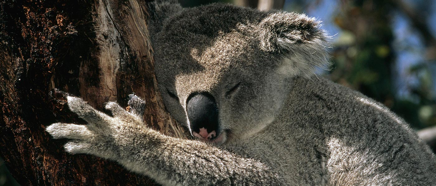 Koala (Phascolarctos cinereus) sleeping in tree, Australia © Martin Harvey / WWF