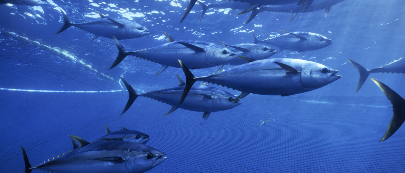 Yellow fin tuna shoal caught 275ft purse seiner fishing nets. © naturepl.com / Doc White / WWF