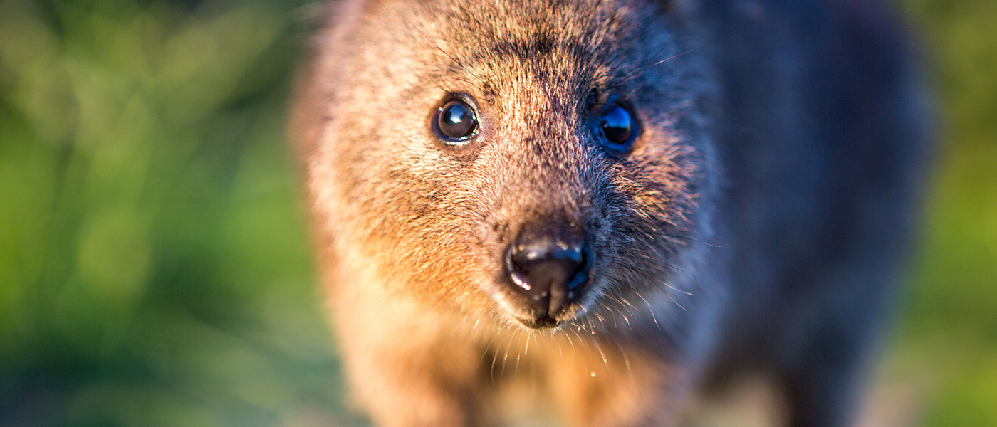 Close up of quokka, Western Australia © Bluebottle Films / WWF-Aus