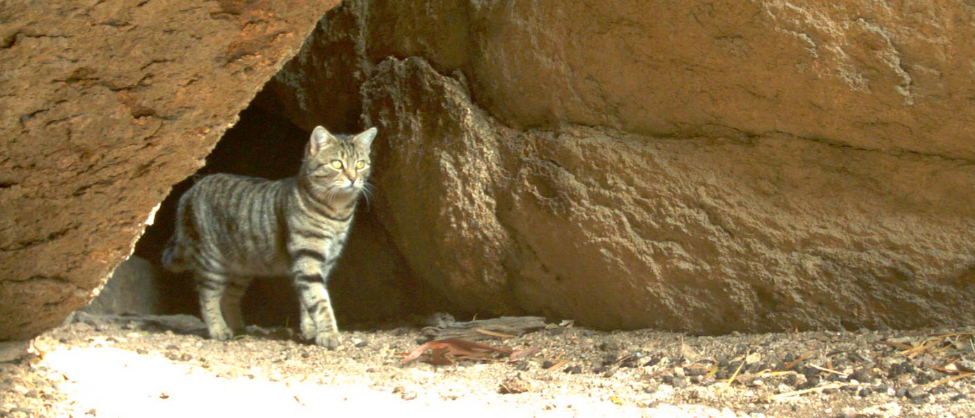 Feral cat caught on sensor camera, Mt Caroline, Western Australia © Phil Lewis / WWF-Aus