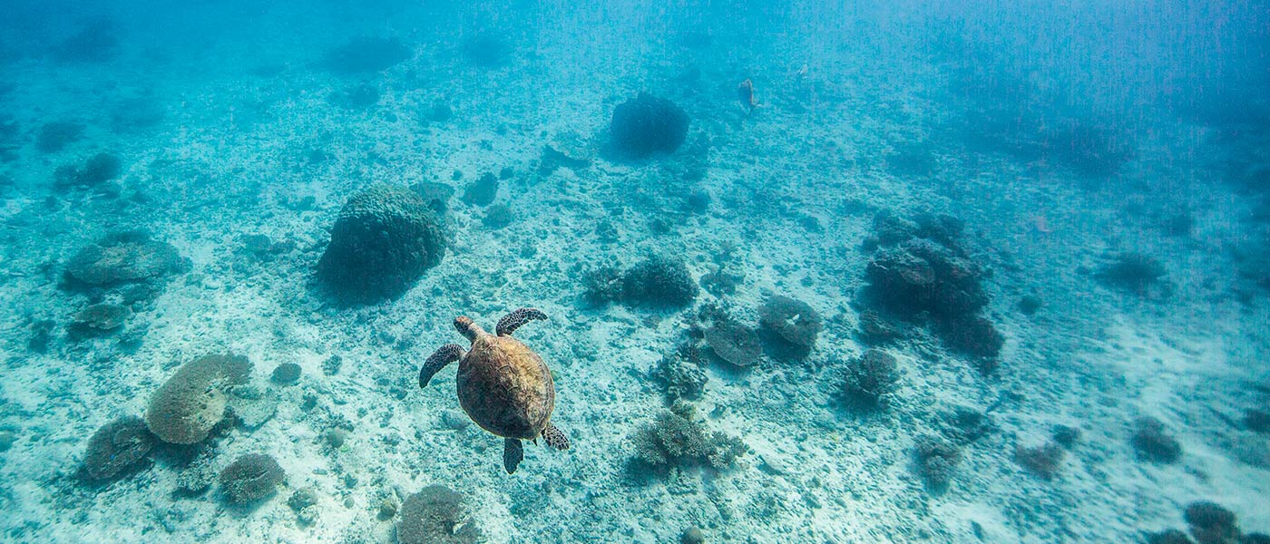 A green turtle swims off Heron Island Research Station, Queensland © WWF / James Morgan