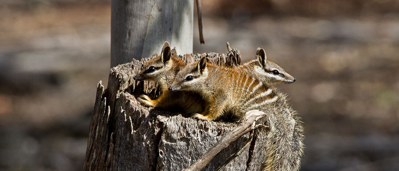 Juvenile numbats in the Dryandra Woodlands, Western Australia © John Lawson / WWF-Aus
