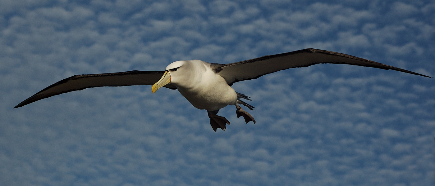 Shy albatross in flight © Aleks Terauds / WWF-Aus