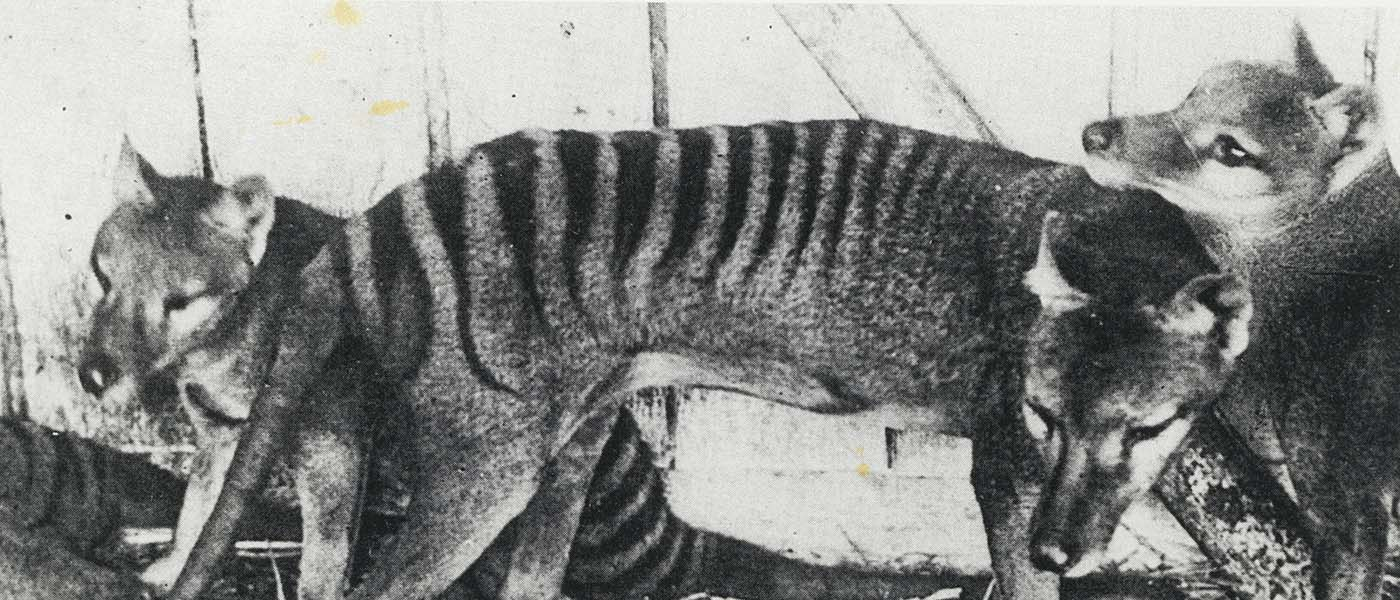Thylacines at Beaumaris zoo