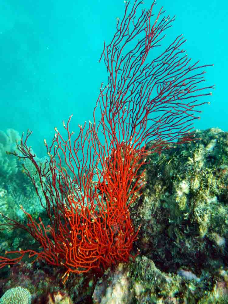 Red coral on Eddy Reef, Mission Beach , 2013 © Paul Toogood