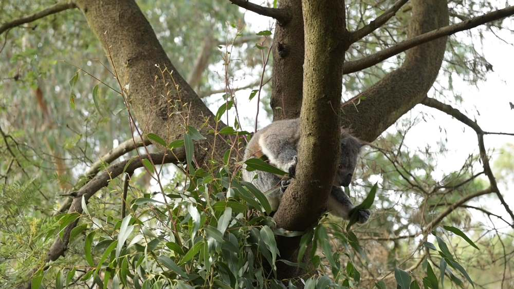Annie the koala reaching for eucalyptus at Phillip Island Nature Parks © WWF-Australia