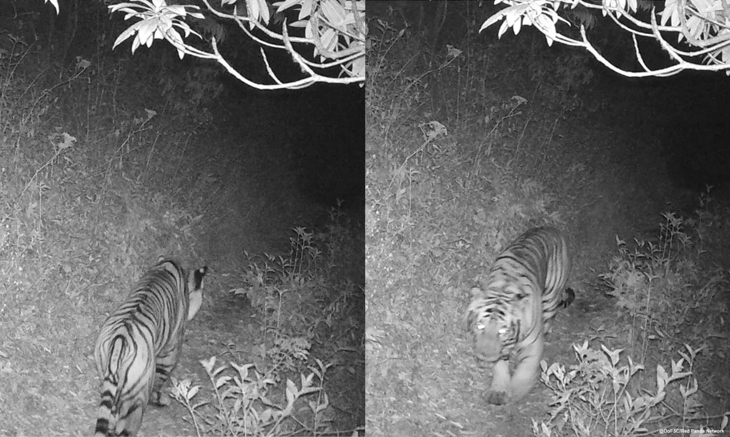 Tiger spotted on camera trap at 3165m (© DoFSC / Red Panda Network)