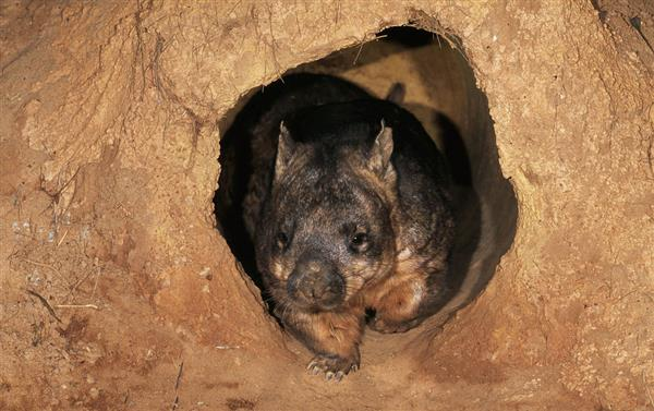 A wombat in its burrow © Martin Harvey / WWF