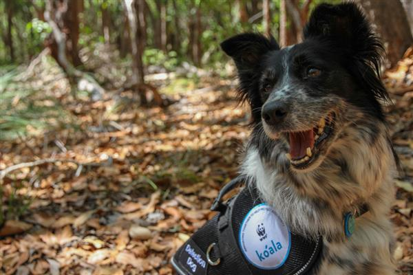Maya, the koala detection dog ©Veronica Joseph / WWF-Australia