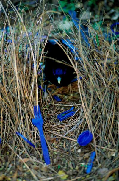 Satin bowerbird, Lamington National Park, Qld © Staffan Widstrand / WWF