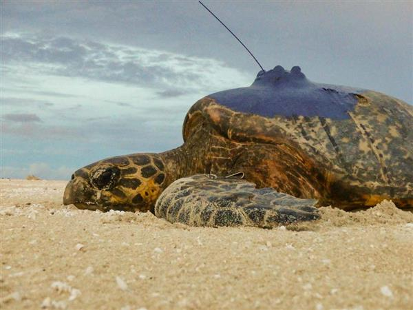 A hawksbill turtle fitted with a satelite tracker © WWF-Aus / Christine Hof