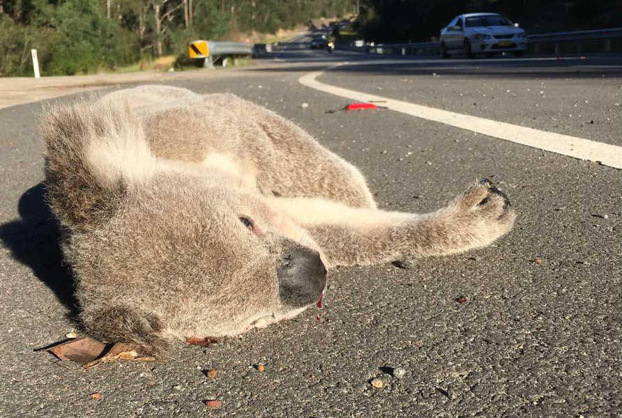 Koala Dead On Road In Campbelltown © Ricardo / Help Save the Wildlife and Bushlands in Campbelltown