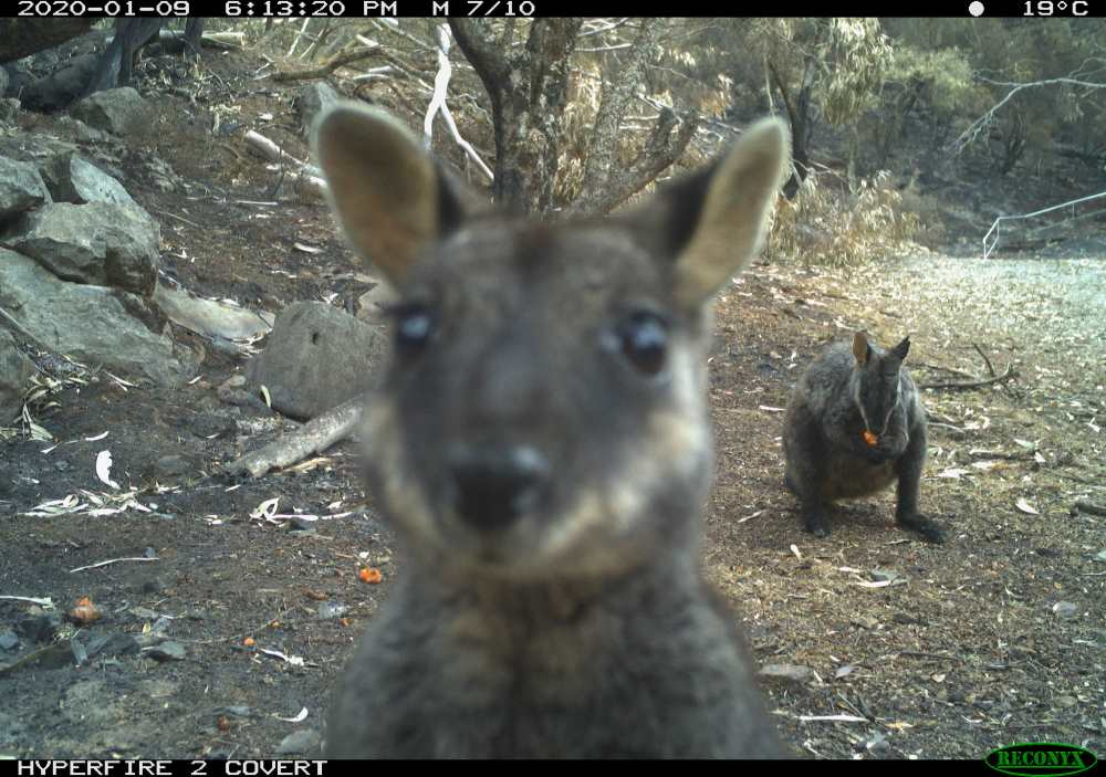 Brush tail rock wallaby caught on sensor camera © NSW National Parks & Wildlife Service