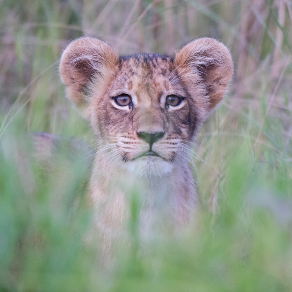 Close up of a lion cub, Botswana © Michael Miller
