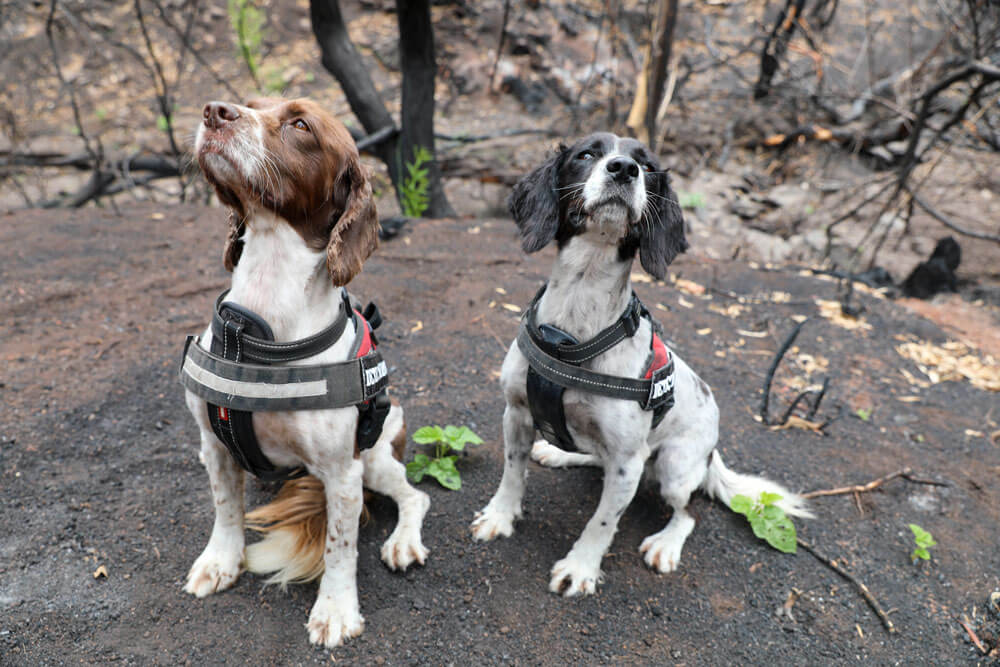 Detection dogs Taz (liver and white) and her cousin Missy (black and white) from OWAD Environment. © WWF-Australia / Veronica Joseph