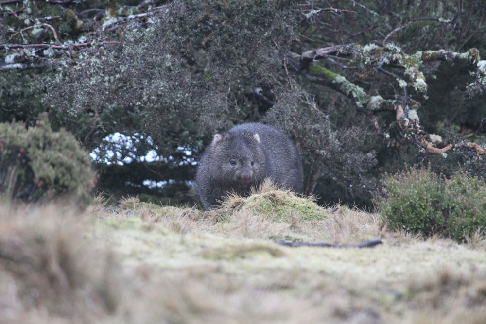 A wombat at the Devils@Cradle conservation facility, Tasmania © WWF-Aus / Madeleine Smitham