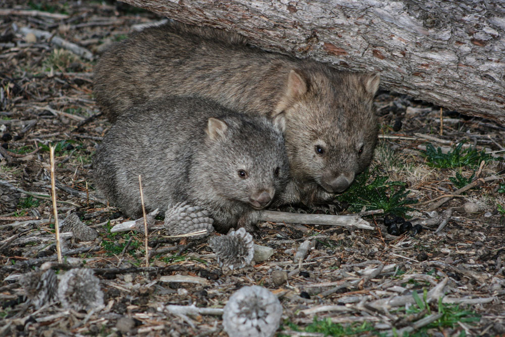 Mother and baby wombat in Tasmania. CC BY 2.0 / Steven Penton / Flickr